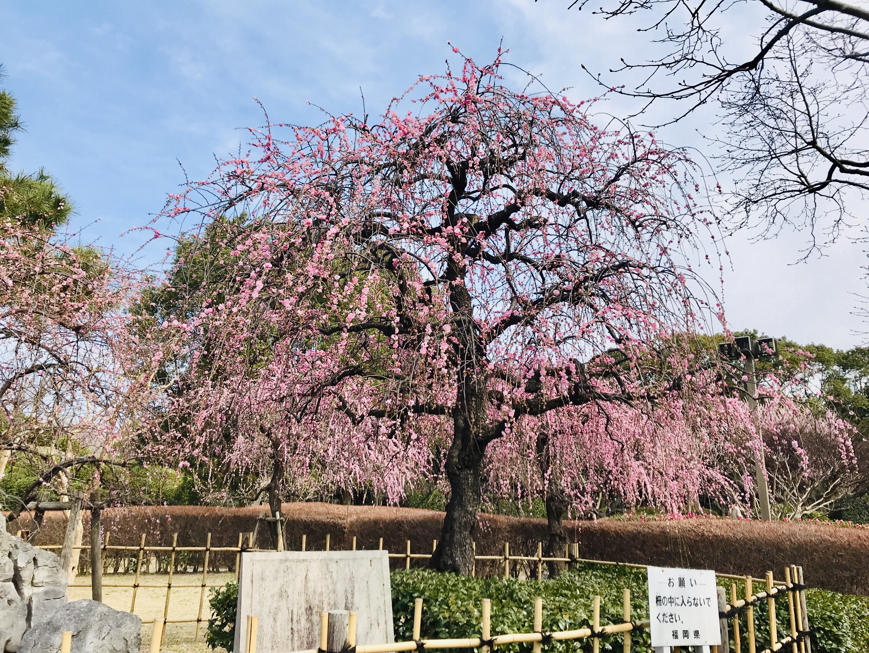 福岡市博多区東公園の枝垂れ梅