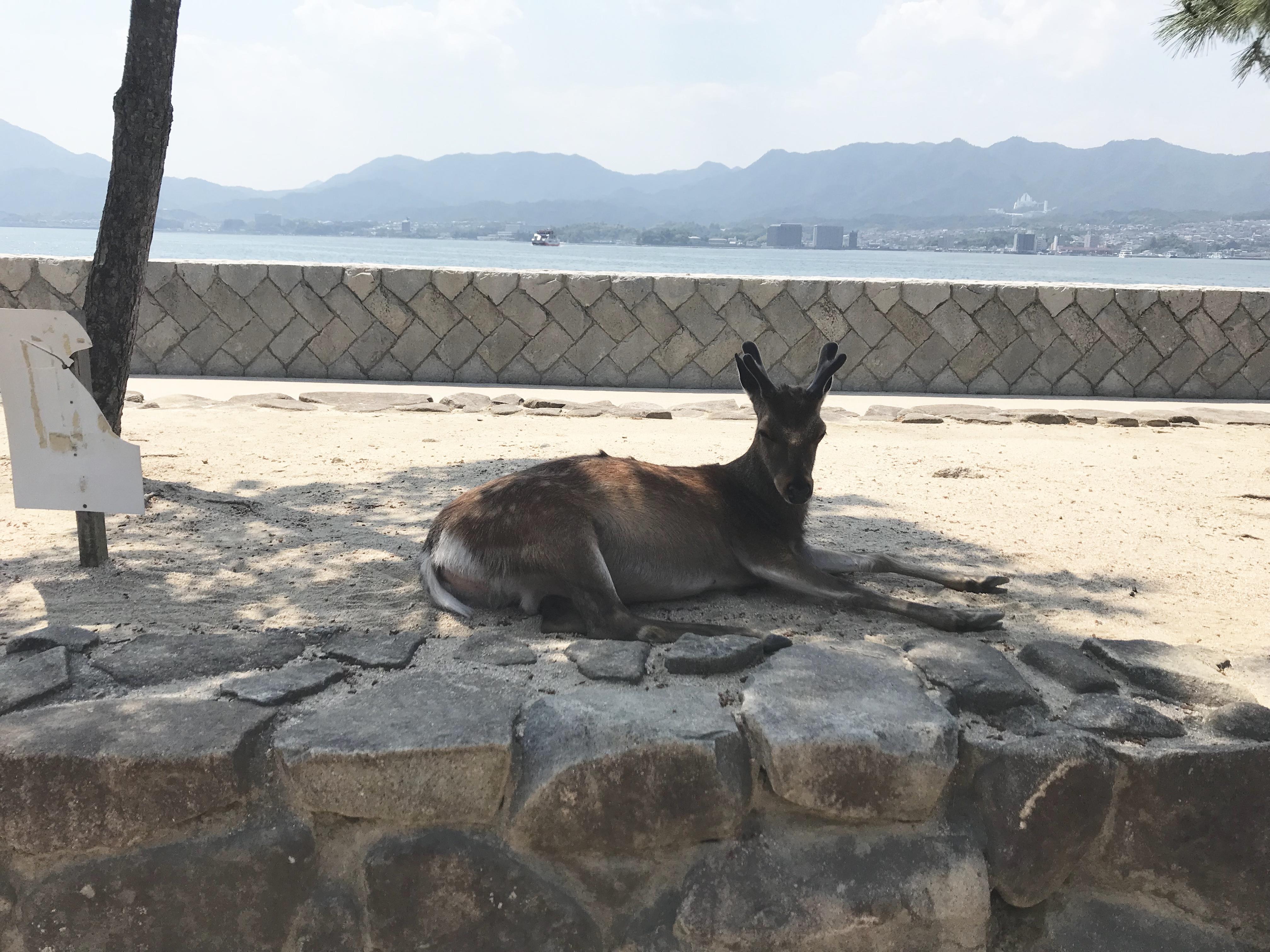宮島の鹿はとっても穏やか