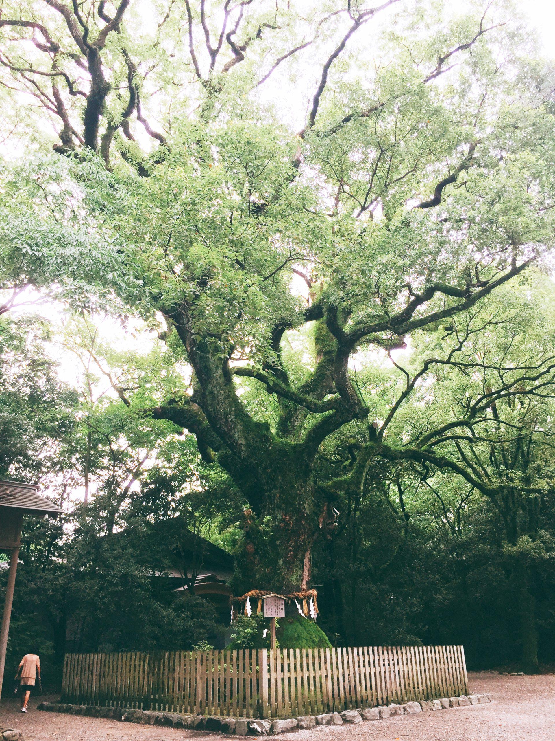 熱田神宮蛇が住む大楠のご神木