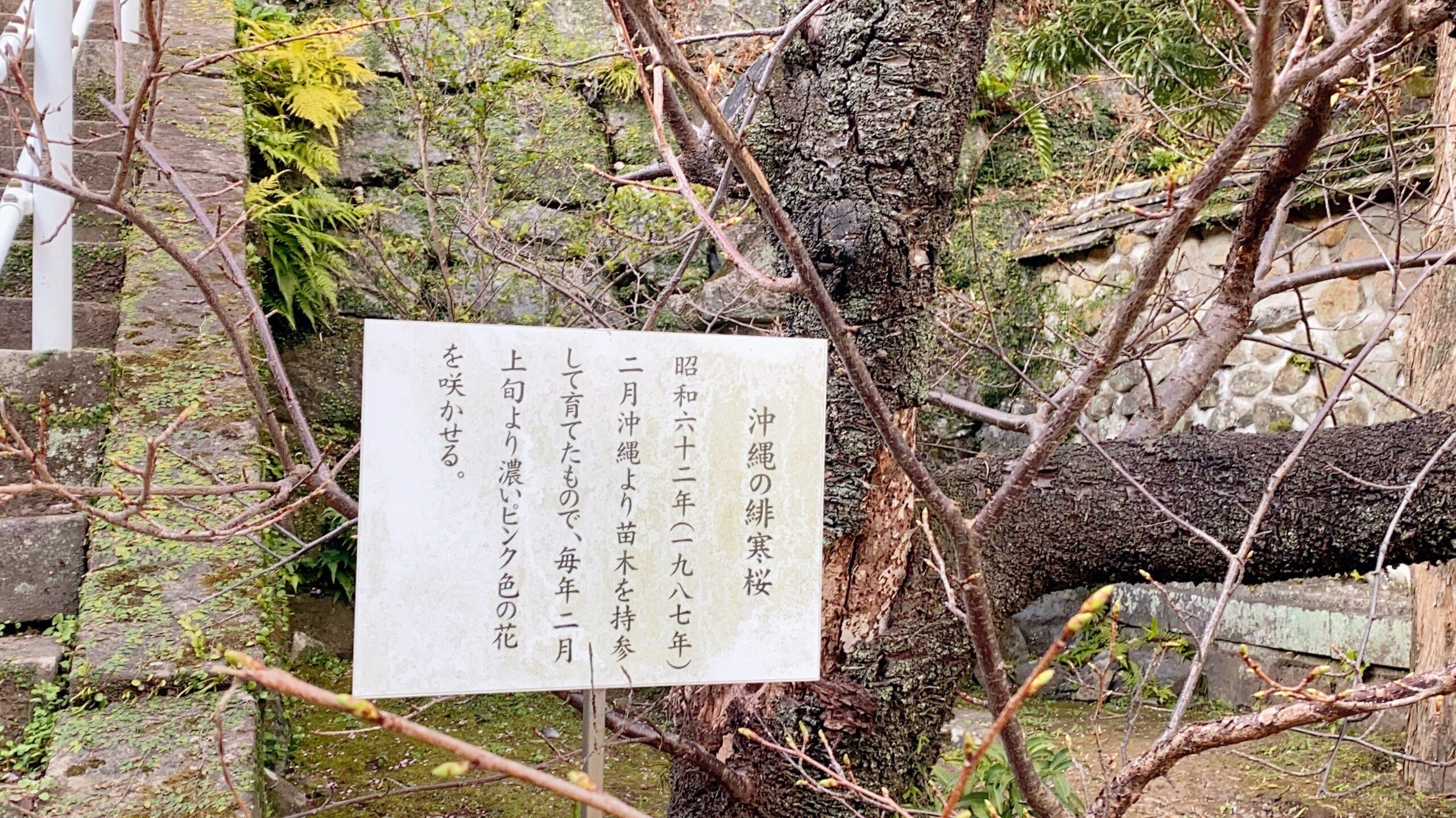 西山神社の沖縄緋寒桜