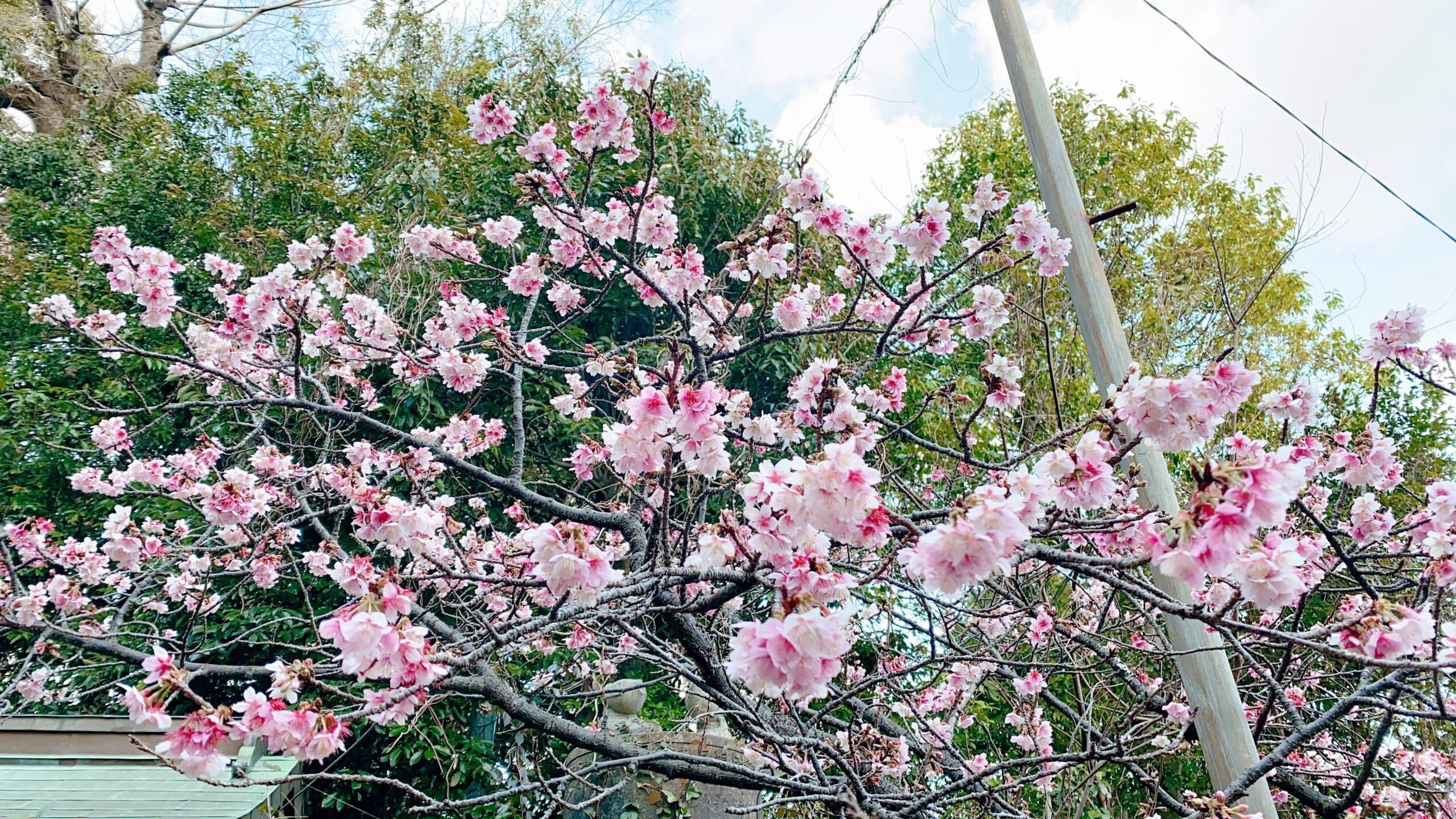 西山神社の寒桜の見ごろ・時期は?