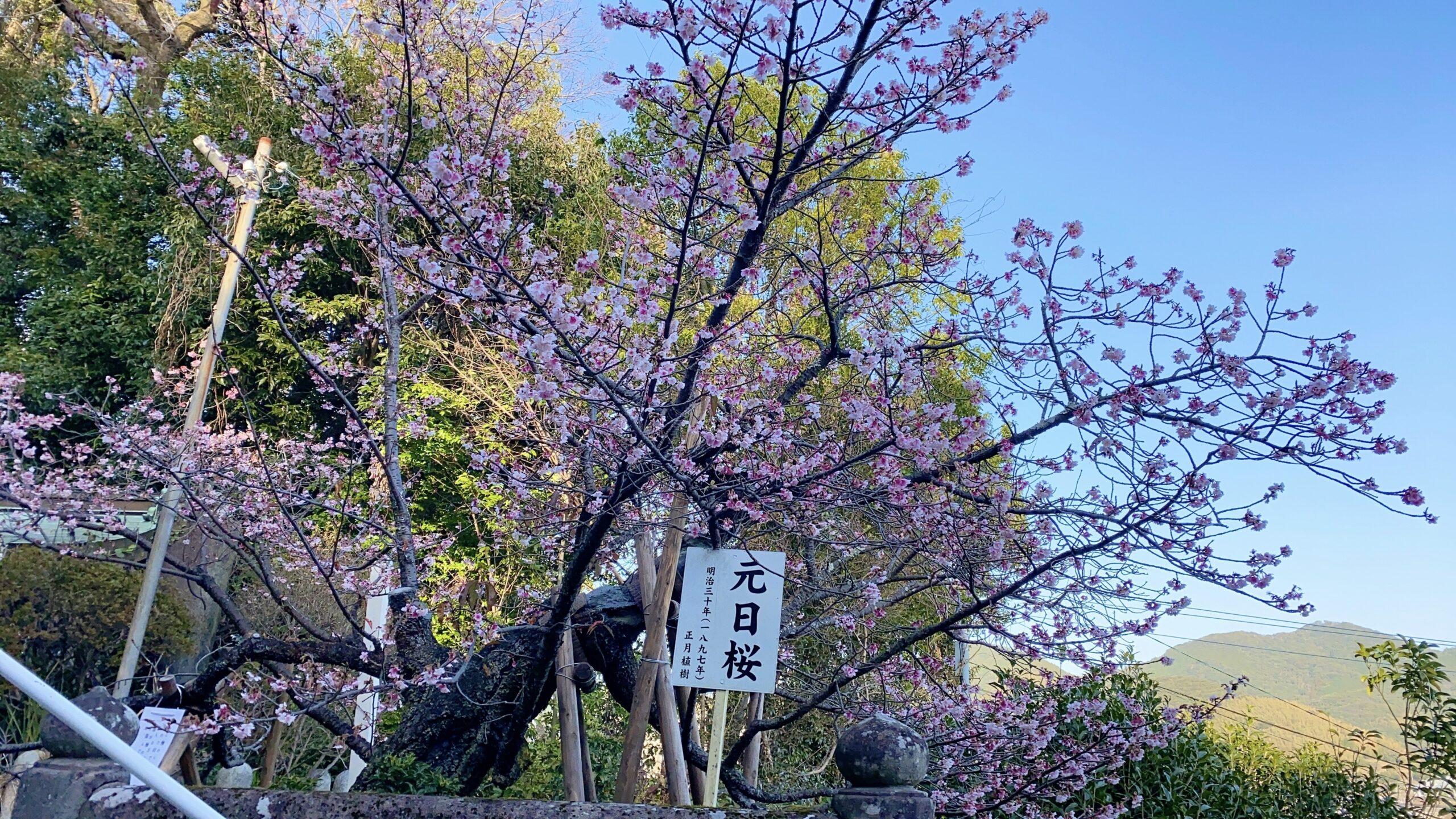 西山神社の元日桜