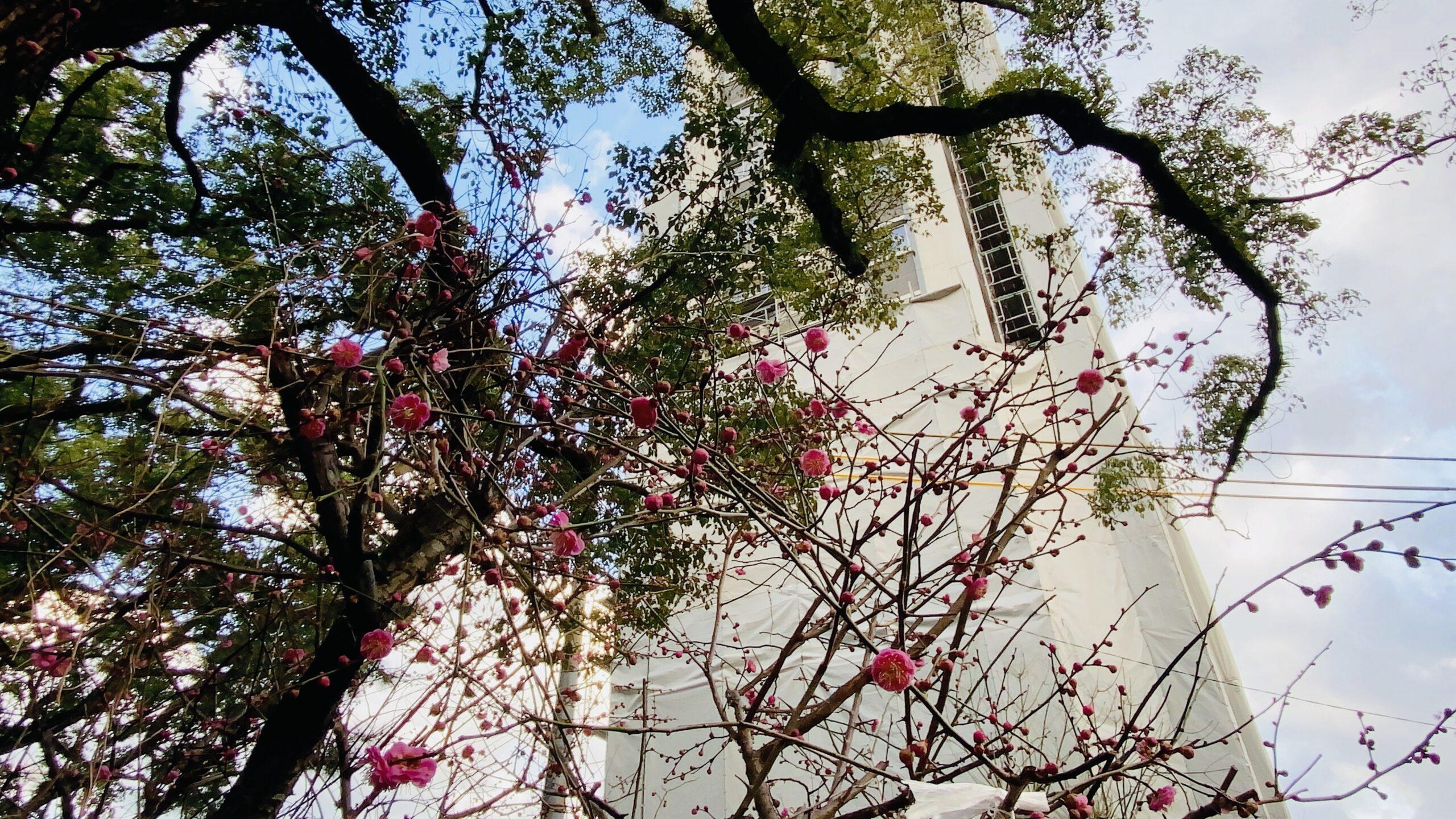 松森天満宮の梅