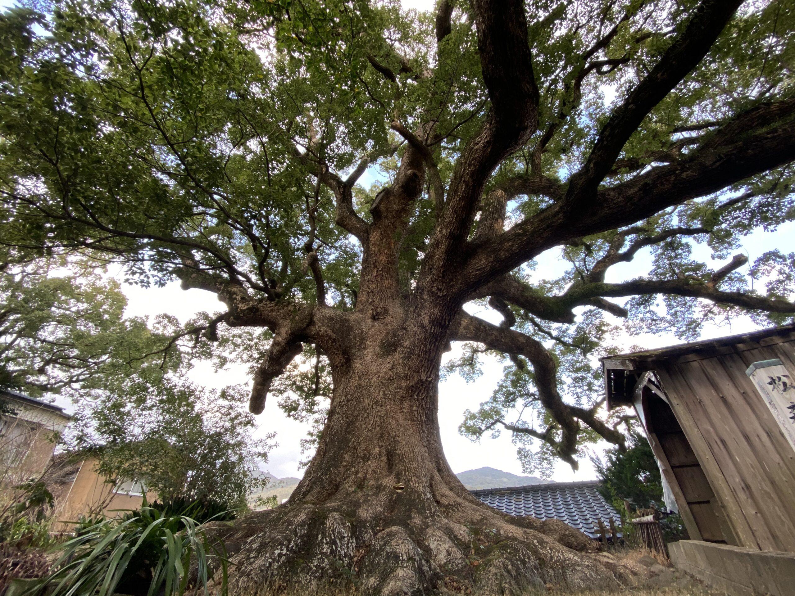 松森の大楠